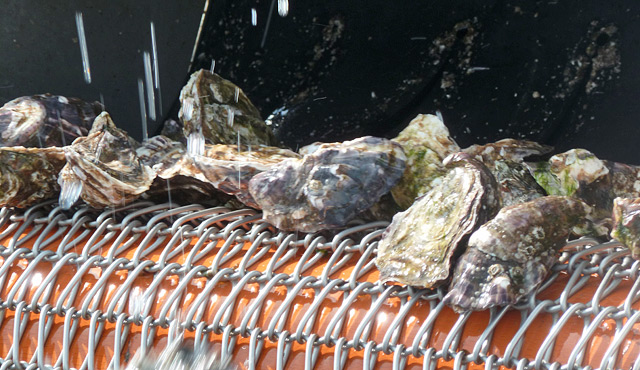 Oysters machinery